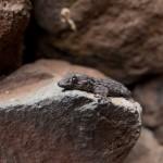 Een gekko